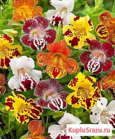 Мимулюс мускусный обезьяний цветок — губастик. ароматный. семена Новосибирск