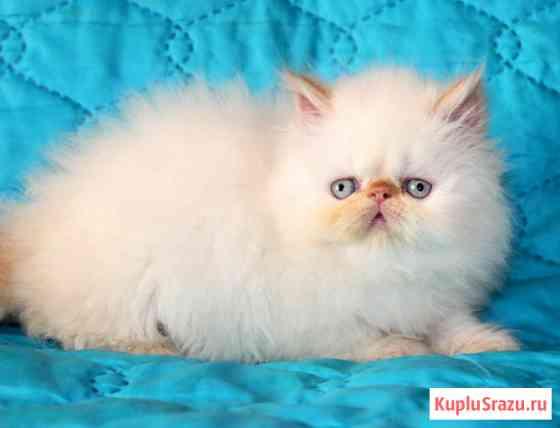 Персидские котята разных окрасов Москва