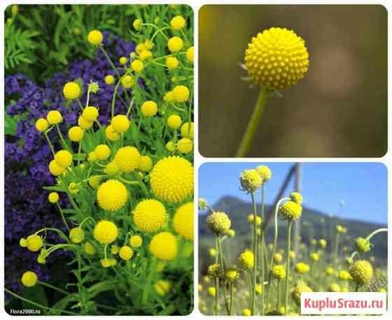 Цефалофора, хелениум ароматикум. земляничная трава.семена Новосибирск