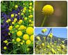 Цефалофора, хелениум ароматикум. земляничная трава.семена