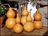 Тыква Лагенария - горлянка. тыква для посуды.семена