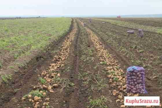 Продаем картофель оптом в Краснодарском крае. картофель опт Краснодар Краснодар