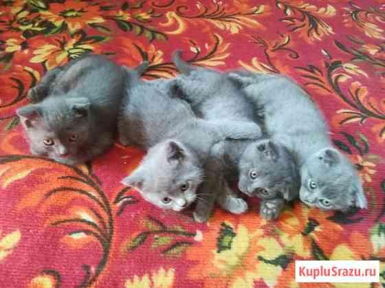 Шотландские котята Бугуруслан