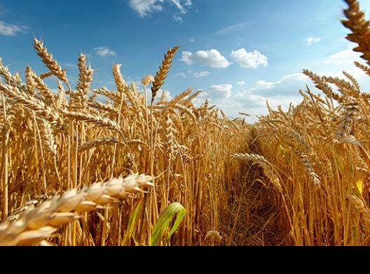 Куплю зерно пшеницы Оренбург