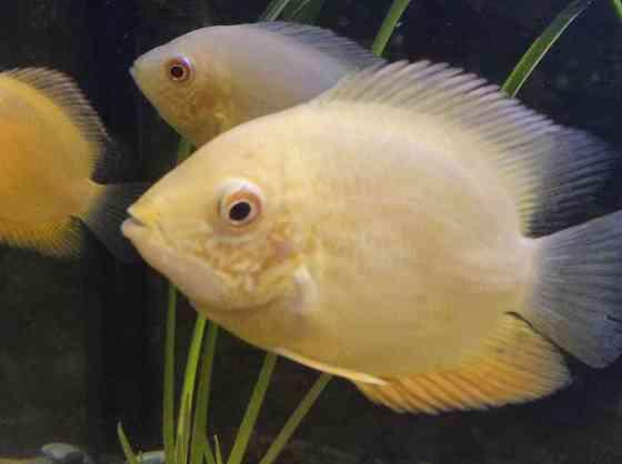 Рыбы северум Люберцы