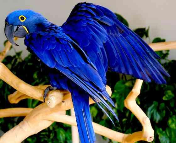 Гиацинтовый ара (Anodorhynchus hyacinthinus) - ручные птенцы из питомника Москва