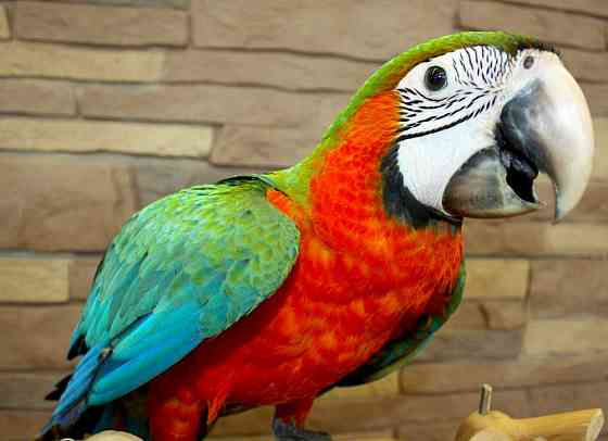 Ара арлекин - ручные птенцы из питомника Москва