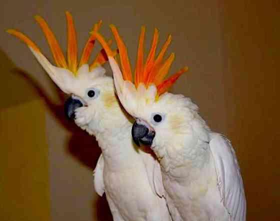 Какаду оранжевохохлый (Cacatua s. citrinocristata) - ручные птенцы из питомника Москва