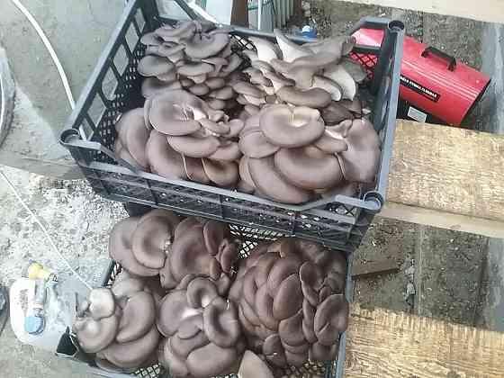Технология выращивания грибов вешенка. Обучение Ставрополь