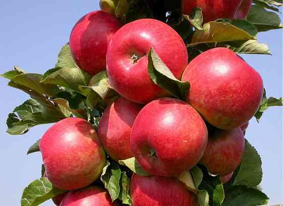 Саженцы яблони оптом и розницу Москва