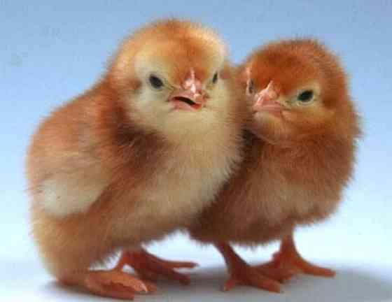 Цыплята яичного мясного мясо-яичного направления Краснодар